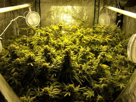 Reader Growing Pics 2015 Collection | Grow Weed Easy